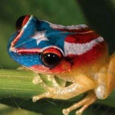 lCuando los Boricuas escuchamos el cantar de nuestro COQUI, llegamos a casa; llegamos a PR :)  El Coqui, the only brownish frog in the world that sings. If taken out of the island, it will die.