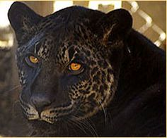 Jahzara is a jaglion (or jaguon), the hybrid between a male jaguar and a female lion (lioness) and was born at Bear Creek Wildlife Sanctuary in Ontario in 2006. Her father was a black jaguar named Diablo and her mother was a lioness named Lola.http://en.wikipedia.org/wiki/Panthera_hybrid   #Jaglion