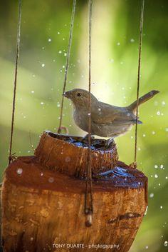 Oiseau - Sporophile femelle prenant un bain dans une noix de coco - St-Barth - FWI - © Tony Duarte