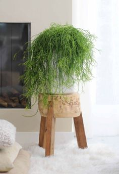 Rhipsalis is a trendy and relaxed lady. Happily, she doesn't have any airs or graces. Just give her a little water once or twice a week and she'll shine with joy. Isn't that nice? And in the meantime she'll just keep growing and growing...