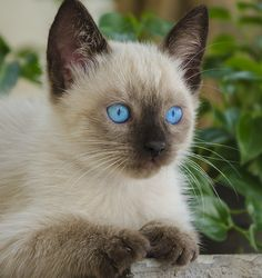 Adorable... I just may need another Siamese kitten in the near future!