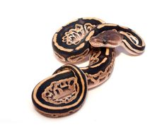 I love ball pythons I'm a snake person but not my family so I can't have one. Pretty Snakes, Beautiful Snakes, Snake Art, Pet Snake, Cute Reptiles, Reptiles And Amphibians, Dream Snake, Burmese Python, Python Regius