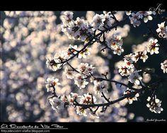Flores de Amendoeira / almond blossom Portugal, Almond Blossom, Algarve, Flowers, Islands