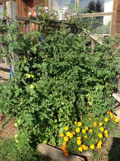Keep a few plants near the front door to snag a quick tomato for salads