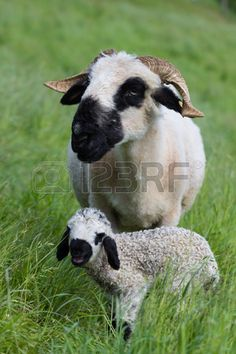 #Ewe With #Two #Day #Old #Lamb @123RF #123rf #animals #nature #ktr14 #carinthia #Austria #love #motherhood #Youngster #stock #photo #new #download #highres #portfolio