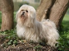 Lhasa Apso Dog Breed Information, Facts, Photos, Care | Pets4Homes