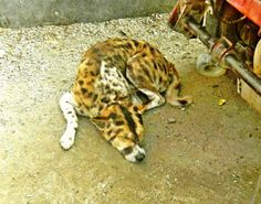 Tiger like dog by Pravin Bagga
