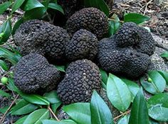 10 G Seeds Spores of Truffle Black Garden Mushrooms Kit   Fungus -- Check out this great product.
