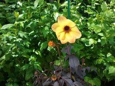 yellow dark dahlia