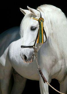 Portrait. Pura Raza Española stallion, Ural V. photo: Ivonka Dopieralski.