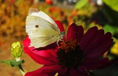 Closeup White Butterfly in Sunlight in Autumn Garden stock photo