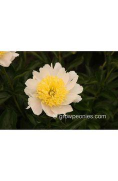 Fuji No Mine Peony — Countryside Gardens, Inc. Yellow Peonies, Buy Peonies, Fuji, Peony, Countryside, Bloom, Plants, Gardens, Outdoor Gardens