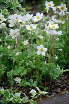 Anemones, these are lovely and they like some shade, perfect for the 'secret garden' next to the birch grove. Little Flowers, May Flowers, White Flowers, Beautiful Flowers, Back Gardens, Outdoor Gardens, Shade Garden, Garden Plants, Moon Garden