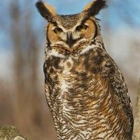 Owls of USA - The Owl Pages....Great for research on habitat, prey etc. for science!!