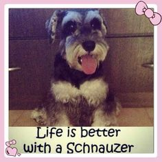 Life is Better with a Schnauzer :-)