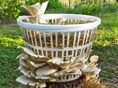 Laundry basket filled with straw growing large elm oyster mushrooms