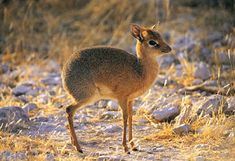 The endangered Philippine mouse deer