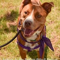 Pictures of Brady a Pit Bull Terrier for adoption in Dallas, GA who needs a loving home.
