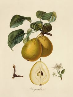 This old botanical print of pear fruit and flowers (genus Pyrus) is an old French variety called Virgouleuse.