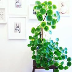 One of the tallest pilea I've ever seen from @plantroost . Pilea peperomioides, in Australia, FOR SALE at www.pileaplace.com Tag #pileaplace to be featured :)