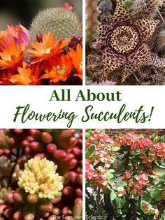 """If you love flowers, succulent plants are a great choice! Learn ALL about flowering succulents, how to care for them, """"death blooms"""" and more! + see my Top 16 Flowering Succulents - not a death bloom on the list! Some are cold hardy succulents, others are succulent ground covers. Pin now, read later! :) #floweringsucculents #succulentblooms #succulentcare"""