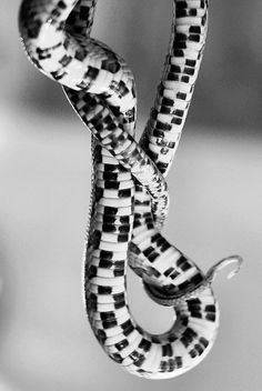 piano key viper<-Where do people get their info? It's the belly of a corn snake