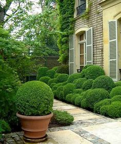Ivy Clad: Growing Boxwood in Containers