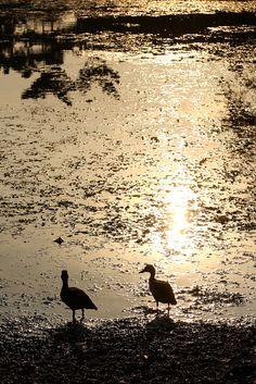 Ducks by the pond by ranmali_k, via Flickr