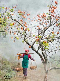 細雨朦朧的柿子園(味衛佳柿餅觀光農場) 攝影:高源彬老師