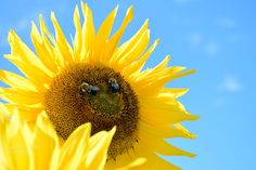 Sunflower smile - A smiling sunflower Bee, Smile, Nature, Animals, Animales, Animaux, Bees, Smiling Faces, The Great Outdoors