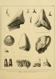 Die tertiären und quartären Versteinerungen Chiles. - Biodiversity Heritage Library