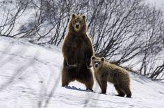 Orsi nella riserva biosferica Biarezinski. #Bielorussia