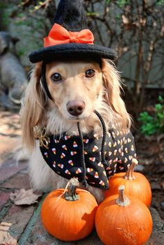 Dachshund with pumpkins, it must be getting close to to that time of the year!