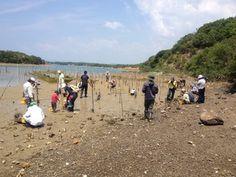 「国連世界海洋デーWorld Ocean Day」に志摩市で「干潟の生きもの観察会」 [2013年06月09日]    全域が伊勢志摩国立公園内に位置する志摩市は、海洋政策研究財団と共に沿岸域総合管理の手法を活用して「新しい里海創生によるまちづくり」を実践しており、その中で、かって干潟だった堤防の内側の土地に海水を導入して干潟を再生する試みを行っています。3ヵ所ある英虞湾に面した再生中干潟の内、近畿日本鉄道株式会社が、企業の社会的責任活動(CSR)の一環として土地を提供している、ホテル近鉄アクアヴィラ伊勢志摩では、2012年9月に水門が開けられました。 (当ブログ http://blog.canpan.info/oprficm/archive/69参照)