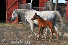 Georgia & Cody is an adoptable Arabian Horse in Arvada, CO. Georgia is a kind Arabian mare who had been starved and impounded on April 15, 2011. Here baby Cody was born on Sept. 1st. She is sound and ...