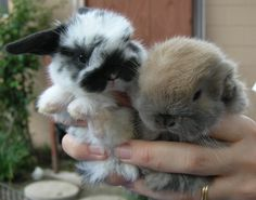Today I'm gonna' introduce you guys to a kind of bunny, called the Holland Lop. The Holland Lop is a breed of rabbit originated from the Ne. Dwarf Bunnies For Sale, Holland Lop Bunnies For Sale, Mini Lop Bunnies, Cute Baby Bunnies, Bunny Bunny, Dwarf Rabbit, Pet Rabbit, Super Cute Animals, Cute Baby Animals