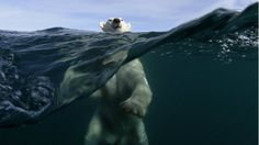 Water nature polar bears (1920x1080, nature, polar, bears)  via www.allwallpaper.in