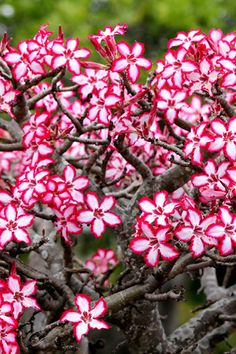 Travelling to the Kruger Park these holidays? Pop into the Skukuza Indigenous Nursery and pick up some unique water-wise gems for your garden African Plants, African Flowers, Holiday Pops, Water Wise, Desert Rose, Garden Pool, Dream Garden, Garden Planning, Flower Tattoos
