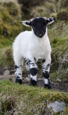 if I really looked like a lamb, like jesus says I am (as a part of the flock), then i'd look like this one, full of spots and blemishes.. Imperfectly chosen by god my father.