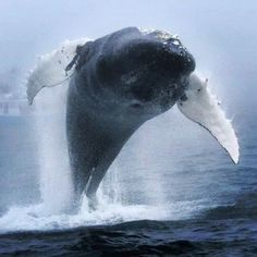 Wonderful photo of Humpback Whale by Penny Graham from Mariner Cruises Whale and Seabird Tours out of Brier Island, N. Orcas, Beautiful Creatures, Animals Beautiful, Water Animals, Ocean Creatures, Beautiful Ocean, Humpback Whale, Sea And Ocean, Ocean Life