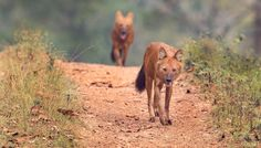 Strolling Dholes - These two were a part of around a dozen in the pack. They trotted on the safari path for quite a while.