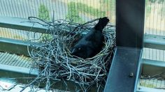 Torresian crows form new nesting habits in major evolutionary change: scientists Fabulous Beasts, Crow's Nest, Crows, Scientists, Change, Ravens, Raven, Crow