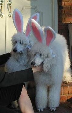 Happy Easter, Ardis! #Easter #Poodles