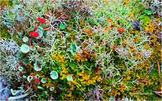 Mix of Reindeer Lichen, Cladonia and various mosses on the Tundra - 100 mm Macro lens