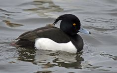 Tufted Duck (Aythya fuligula) Native to temperate regions of the Northern Hemisphere. (Wikipedia)