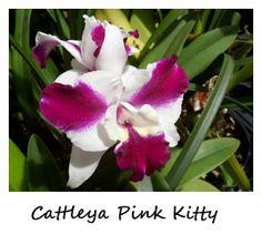 Cattleya Pink Kitty