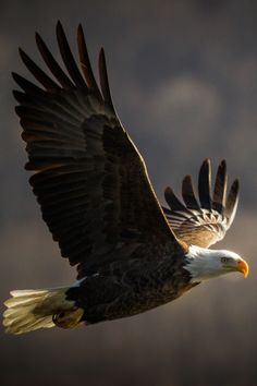 Types of Eagles - American Bald Eagle art portraits, photographs, information and just plain fun The Eagles, Types Of Eagles, Bald Eagles, Pretty Birds, Beautiful Birds, Animals Beautiful, Eagle In Flight, Birds In Flight, Photo Aigle
