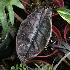 Ferns Garden, Garden Trees, Shade Garden, Elephant Ear Plant, Elephant Ears, Indoor Plants Names, Alocasia Plant, Rare Plants, Tropical Plants
