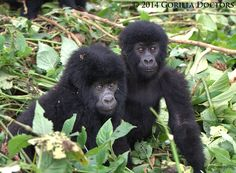 The two babies in Bageni group, Virunga National Park, DR Congo.