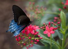 """""""Blue Swallowtail Butterfly""""  #butterfly #bugs #insects #nature #macro #swallowtail"""